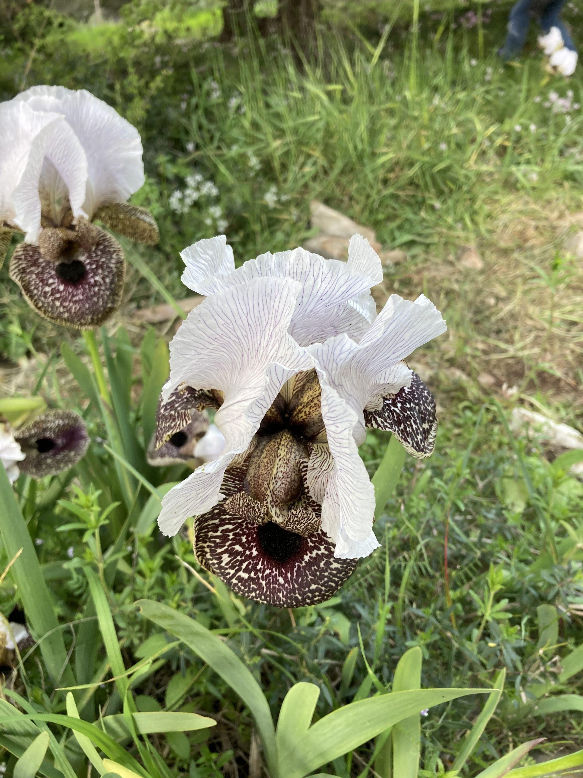 Nazareth Iris, MITF, Nazareth, hiking, nature, city, flowers
